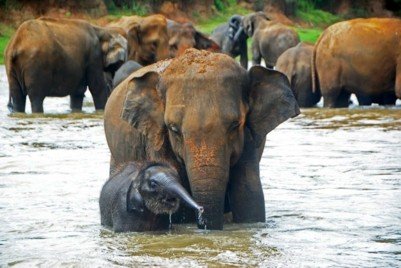 Imageresult for pinnawala elephant orphanage A mother's touch