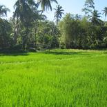 Ahangma land surrounded by paddy field