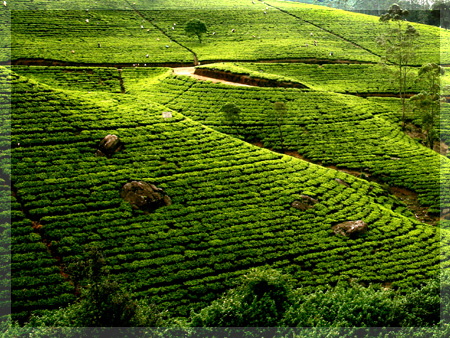 Highlands tea plantations